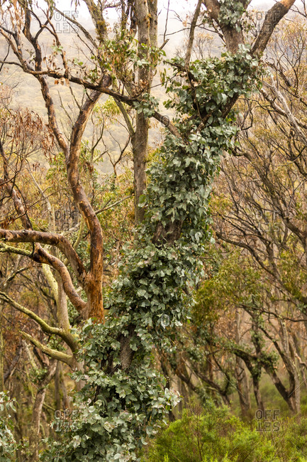 Leafy vine growing up tree in the forest