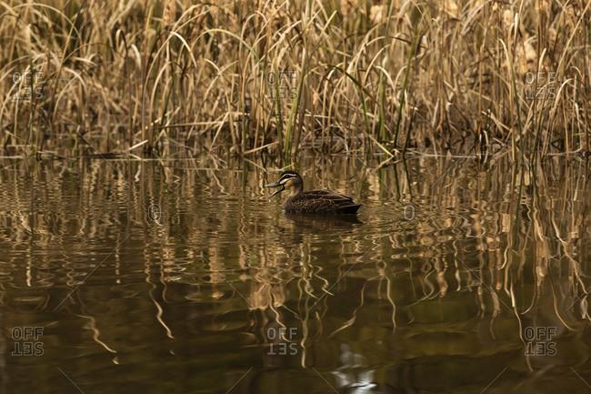 Pacific black duck swimming in a pond in Sydney, Australia