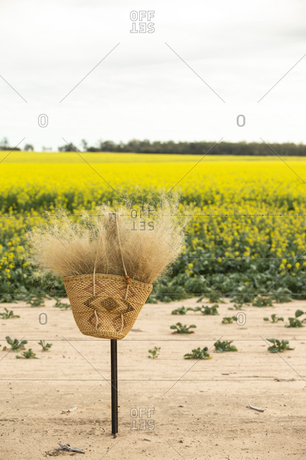 Basket filled with grass plumes hanging from a barbed wire fence by a canola field