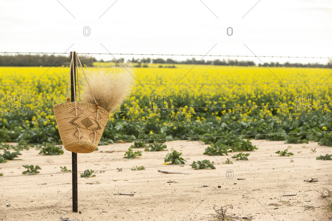 Basket filled with dried plant plumes hanging from a barbed wire fence by a canola field