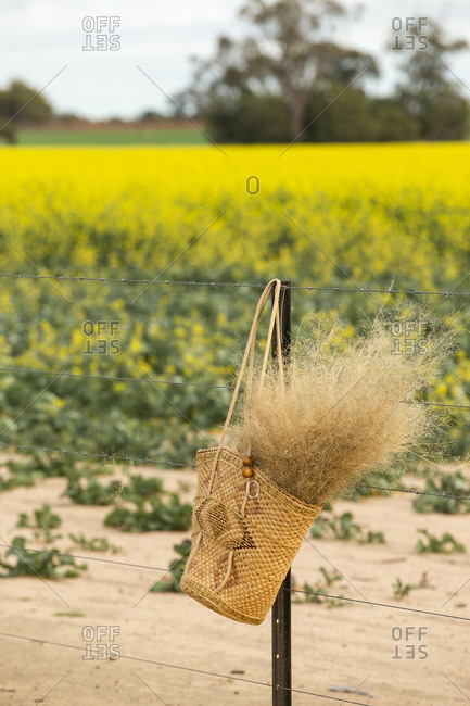 Basket filled with dried plant plumes on a fence by a canola field