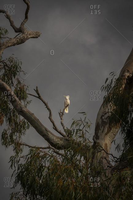 A cockatoo sitting on a gumtree branch under dark clouds