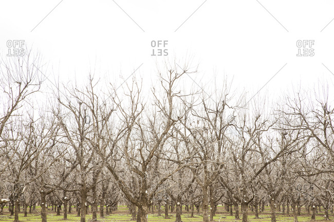 Bare trees on a pecan farm in winter