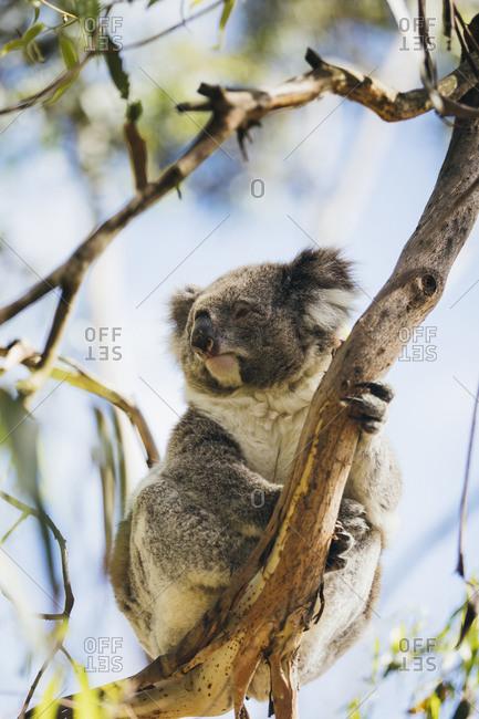 Koala on a eucalyptus tree in Australia
