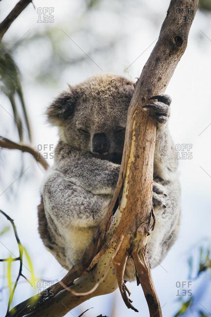 Sleeping baby koala on a eucalyptus tree