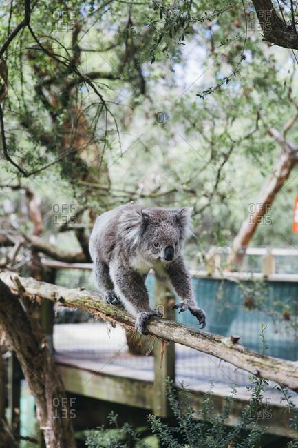 Beautiful koala walking on a tree in eucalyptus forest