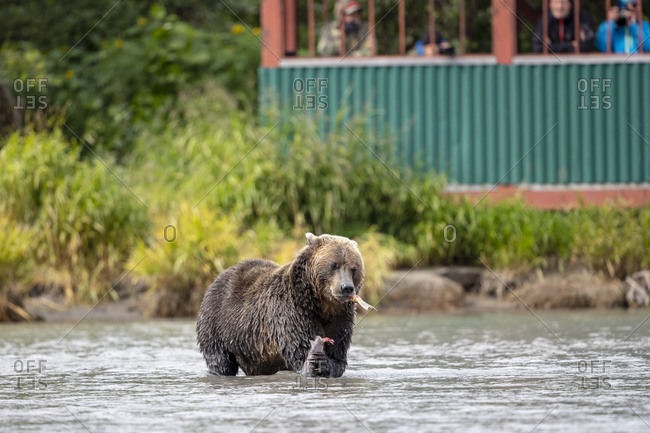 Brown bear (Ursus arctos) with salmon in Kamchatka river, Kamchatka Peninsula, Russia