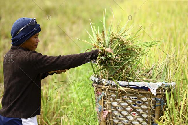 Philippines, Visayas Sea, Bohol - May 29, 2015: Farm worker in rice paddy, Bohol, Visayas, Philippines