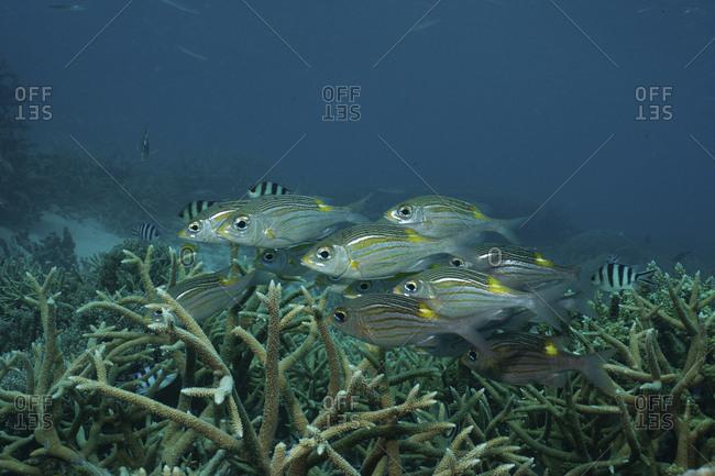 Striped large-eye bream (Gnathodentex aureolineatus), Great Barrier Reef, Australia