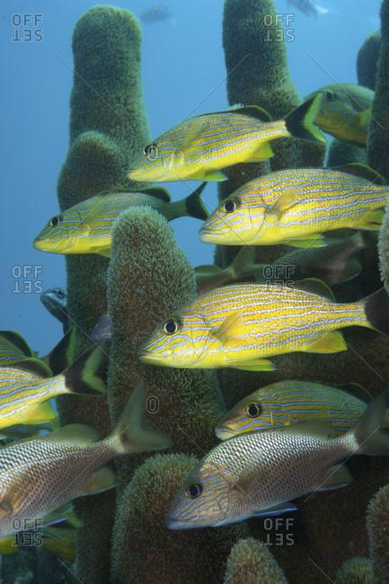 Blue striped grunt (Haemulid Sciurus) among pillar coral (Dendrogram cylindric), Key Largo, Florida, USA