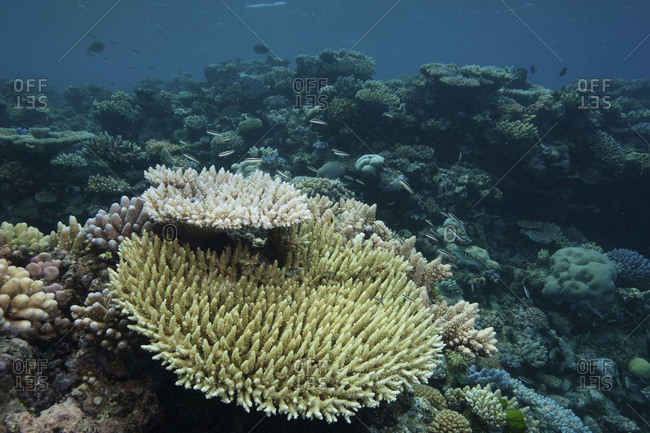 Stony corals, Far North, Great Detached Reef, Great Barrier Reef, Australia