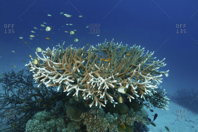 Staghorn coral (Acrophore species), Far North, Great Detached Reef, Great Barrier Reef, Australia