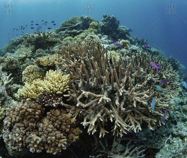 Hard corals, Great Barrier Reef, Far North, Australia