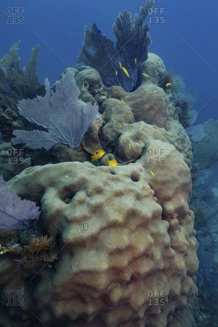 Star coral, Key Largo, Florida, USA