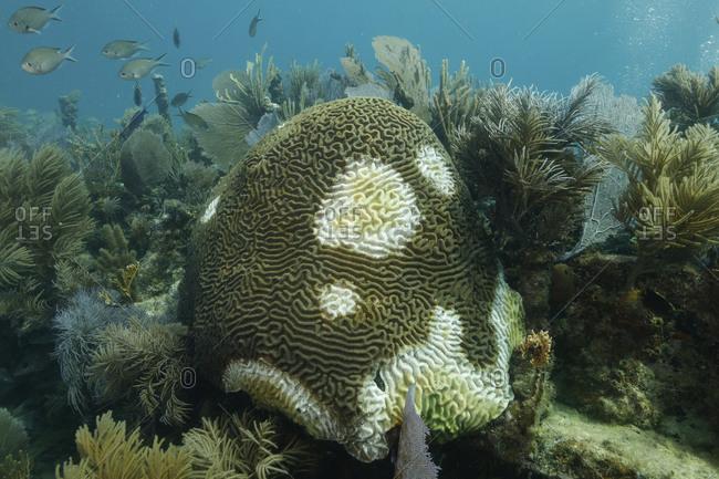 Symmetrical brain coral (Pseudodiploria strigosa), Key Largo, Florida, USA