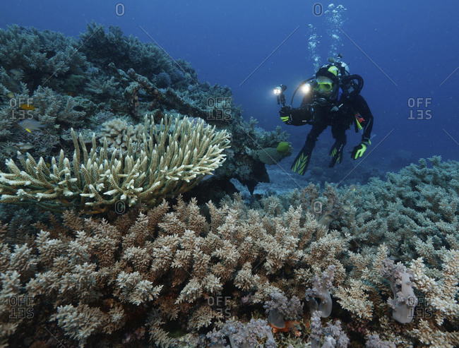 Man diving among hard corals, Far North, Great Detached Reef, Great Barrier Reef, Australia