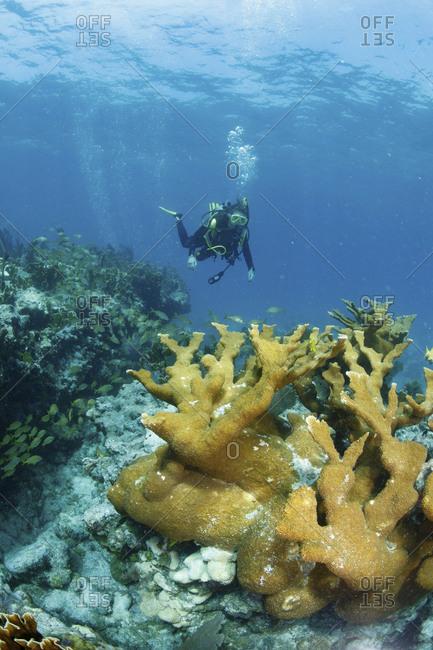 Elkhorn coral (Acrophore palmate), Florida Keys, Key Largo, Florida, USA