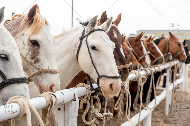 Tethered horses waiting to be ridden in a country rodeo. Puerto Madryn, Argentina