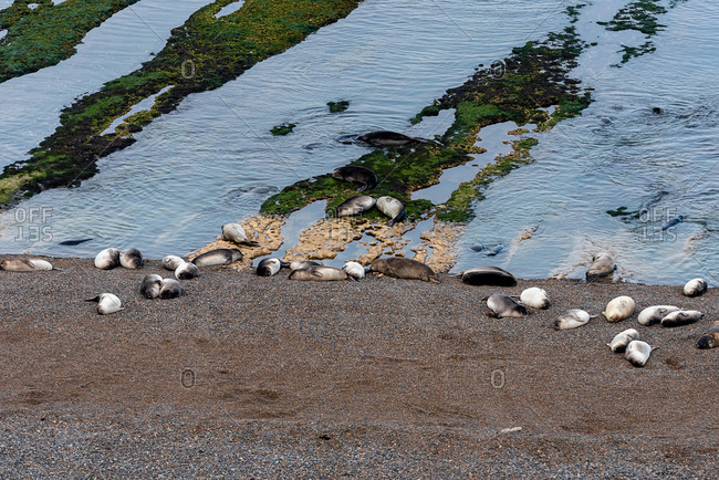 Colony of sea lions in Peninsula Valdes, Argentina