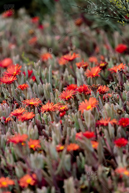 Red flowers in Peninsula Valdes, Argentina