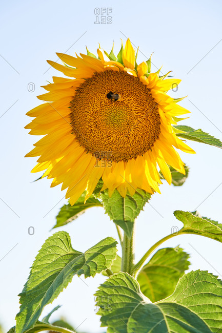 Closeup of little bee sitting on blooming sunflower during sunny day in countryside