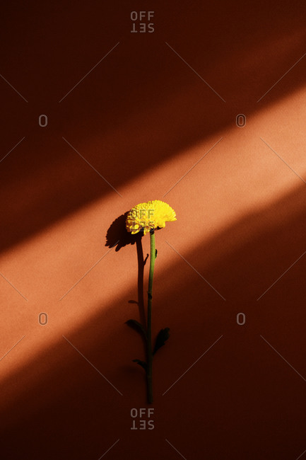 From above of yellow delicate chrysanthemum flower placed on brown background in studio