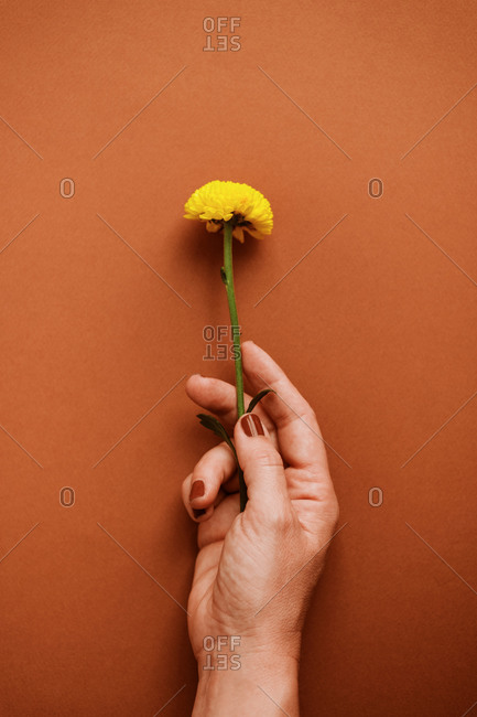From above of unrecognizable female with fresh yellow chrysanthemum on brown background in studio