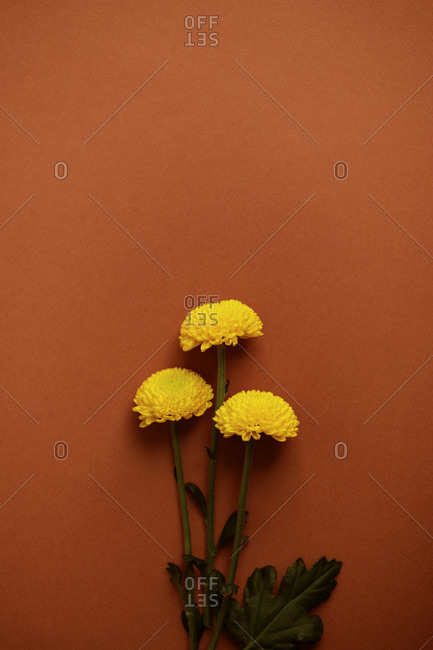 From above of yellow delicate chrysanthemum flowers placed on brown background in studio