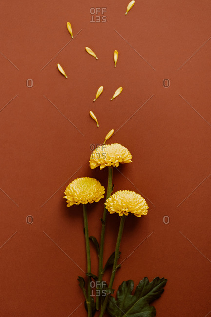 Top view of bouquet of fresh yellow chrysanthemum flowers arranged with delicate petals on brown background in studio