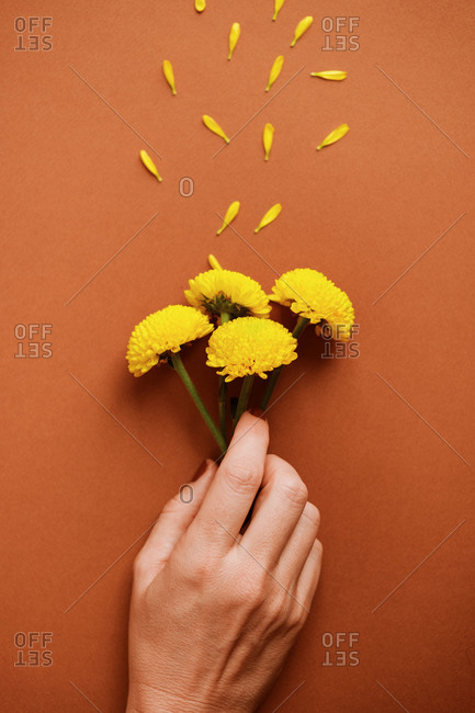 Top view of crop woman holding bouquet of fresh yellow chrysanthemum flowers arranged with delicate petals on brown background in studio