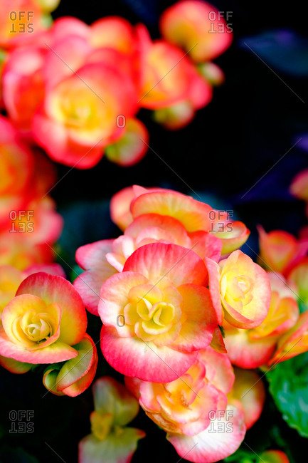 Close up of beautiful pink and yellow tropical flowers