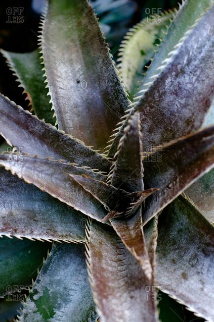 Close up of a tropical aloe plant
