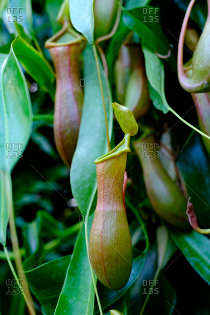A tropical pitcher plant growing in a greenhouse