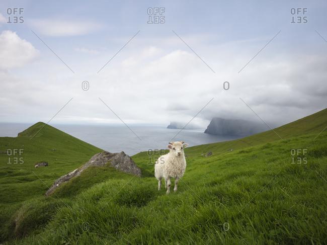 Sheep on the grassy hillside in the Faroe Islands