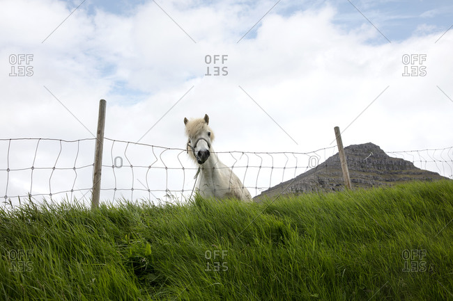 White horse standing behind fence in the countryside, Faroe Islands