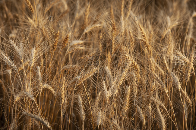 USA, South Dakota, Field of crop in summertime