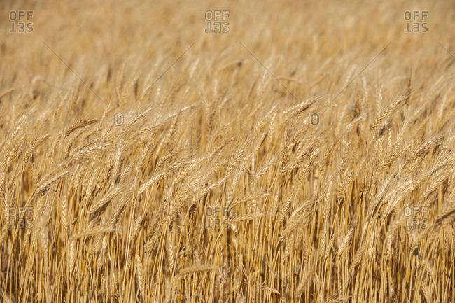Golden wheat field - Offset Collection