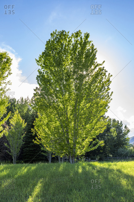 USA, Idaho, Bellevue, Sun shining through green tree growing in field