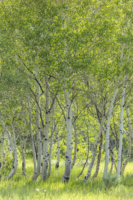 USA, Idaho, Sun Valley, Aspen trees growing in woodland