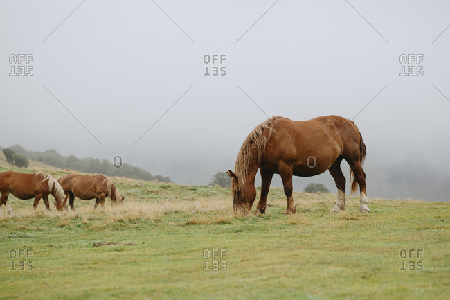 Wild horses in the Pyrenees mountains in France