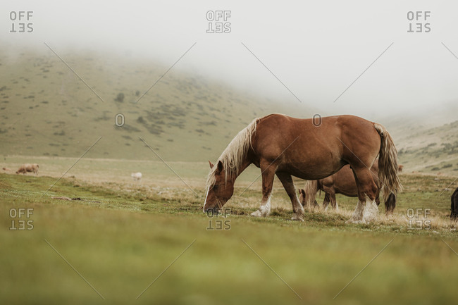Brown wild horses in the Pyrenees mountains in France