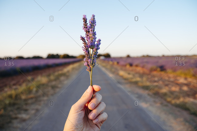 Hand of adult woman holding lavender against rural road