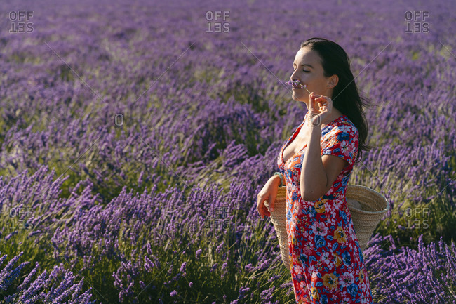 Portrait of beautiful woman smelling lavender blooming in vast countryside field