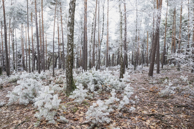 Germany- Rhineland-Palatinate- Frosted pine and birch trees in Palatinate Forest