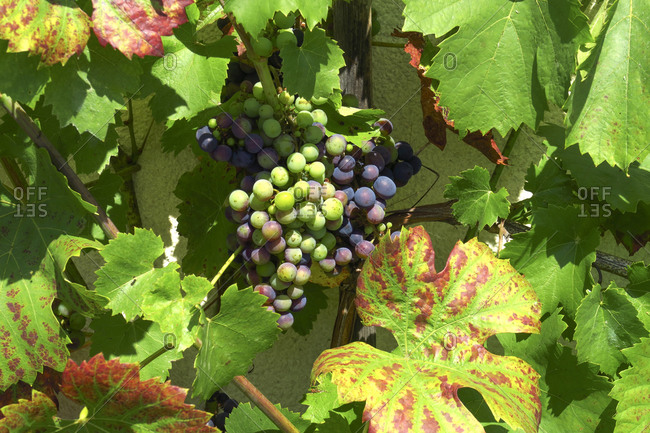 Grapes growing outdoors in the sun