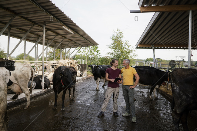 Mature farmer with adult son at cow house on a farm