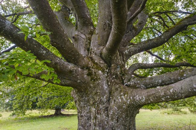 Trunk of old beech tree (Fagus sylvatica)