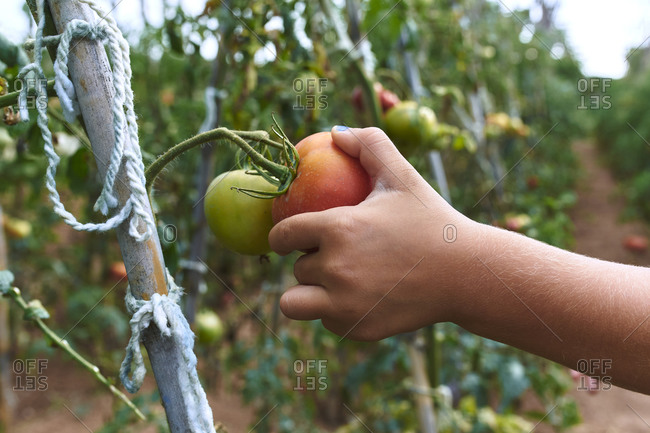 Hand harvesting tomato in orchard
