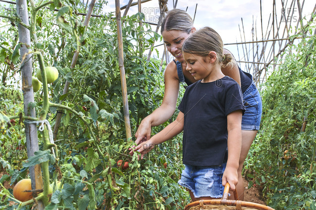 Mother and daughter with wicker basket in greenhouse with tomato plants