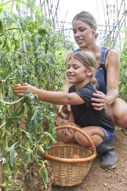 Mother and daughter with wicker basket in greenhouse harvesting tomato